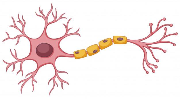 Définition du système endocannabinoïde